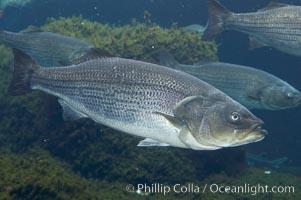 Image 10984, Striped bass (striper, striped seabass)., Morone saxatilis, Phillip Colla, all rights reserved worldwide. Keywords: morone saxatilis, striped bass, striped sea-bass, striped seabass, striper, underwater.