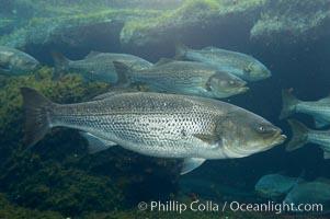 Striped bass (striper, striped seabass)., Morone saxatilis, natural history stock photograph, photo id 10987