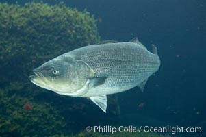 Striped bass (striper, striped seabass)., Morone saxatilis, natural history stock photograph, photo id 10977