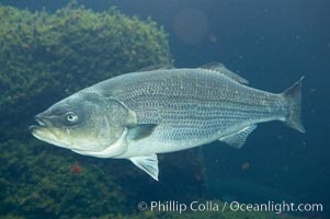 Striped bass (striper, striped seabass)., Morone saxatilis, natural history stock photograph, photo id 10978