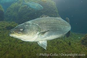 Striped bass (striper, striped seabass), Morone saxatilis
