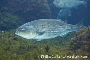 Striped bass (striper, striped seabass)., Morone saxatilis, natural history stock photograph, photo id 10990