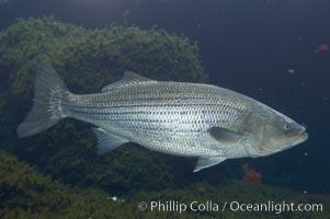 Striped bass (striper, striped seabass)., Morone saxatilis, natural history stock photograph, photo id 10991