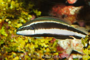Striped dottyback, Pseudochromis sankeyi