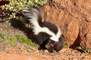 Striped skunk.  The striped skunk prefers somewhat open areas with a mixture of habitats such as woods, grasslands, and agricultural clearings. They are usually never found further than two miles from a water source. They are also often found in suburban areas because of the abundance of buildings that provide them with cover, Mephitis mephitis
