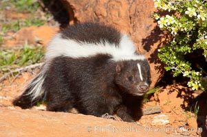 Striped skunk.  The striped skunk prefers somewhat open areas with a mixture of habitats such as woods, grasslands, and agricultural clearings. They are usually never found further than two miles from a water source. They are also often found in suburban areas because of the abundance of buildings that provide them with cover., Mephitis mephitis, natural history stock photograph, photo id 12058
