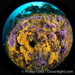 Purple hydrocoral  Stylaster californicus and yellow zoanthid anemone Epizoanthus giveni, Farnsworth Banks, Catalina Island, Allopora californica, Stylaster californicus, Epizoanthus giveni