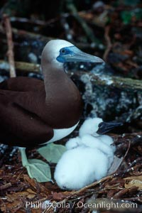 Brown booby, adult and chick at nest. Cocos Island, Costa Rica, Sula leucogaster, natural history stock photograph, photo id 03260