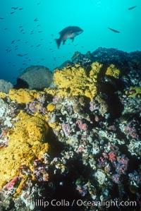 sulfur sponges, Roca Ben., natural history stock photograph, photo id 03735