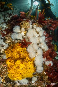 Yellow sulphur sponge and white metridium anemones, on a cold water reef teeming with invertebrate life. Browning Pass, Vancouver Island. British Columbia, Canada, Metridium senile, Halichondria panicea, natural history stock photograph, photo id 35394