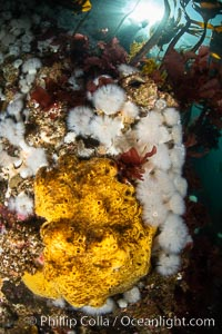 Yellow sulphur sponge and white metridium anemones, on a cold water reef teeming with invertebrate life. Browning Pass, Vancouver Island. British Columbia, Canada, Metridium senile, Halichondria panicea, natural history stock photograph, photo id 35497