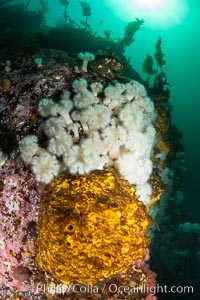 Yellow sulphur sponge and white metridium anemones, on a cold water reef teeming with invertebrate life. Browning Pass, Vancouver Island, Metridium senile, Halichondria panicea