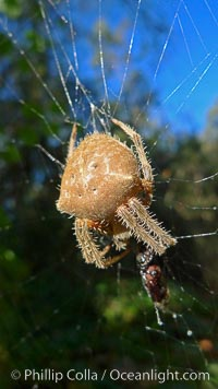 Sun spider, Rancho Santa Fe, California