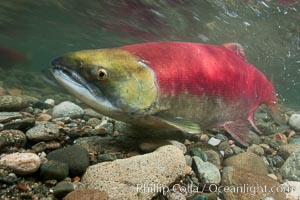 Adams River sockeye salmon.  A female sockeye salmon swims upstream in the Adams River to spawn, having traveled hundreds of miles upstream from the ocean. Adams River, Roderick Haig-Brown Provincial Park, British Columbia, Canada, Oncorhynchus nerka, natural history stock photograph, photo id 26145
