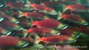 A school of sockeye salmon, swimming up the Adams River to spawn, where they will lay eggs and die. Roderick Haig-Brown Provincial Park, British Columbia, Canada, Oncorhynchus nerka, natural history stock photograph, photo id 26146