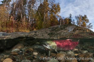 A sockeye salmon swims in the shallows of the Adams River, with the surrounding forest visible in this split-level over-under photograph. Roderick Haig-Brown Provincial Park, British Columbia, Canada, Oncorhynchus nerka, natural history stock photograph, photo id 26177