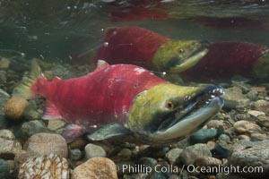 Two male sockeye salmon, swimming together against the current of the Adams River.  After four years of life and two migrations of the Fraser and Adams Rivers, they will soon fertilize a female's eggs and then die. Roderick Haig-Brown Provincial Park, British Columbia, Canada, Oncorhynchus nerka, natural history stock photograph, photo id 26180