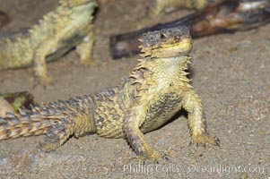 Sungazer lizard., Cordylus giganteus, natural history stock photograph, photo id 12738