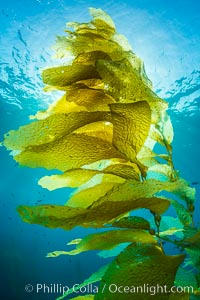 Sunlight streams through giant kelp forest. Giant kelp, the fastest growing plant on Earth, reaches from the rocky reef to the ocean's surface like a submarine forest, Catalina Island, California