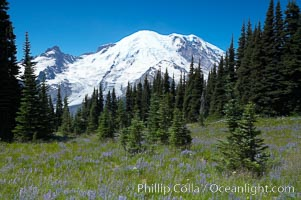 Mount Rainier rises above a field of lupine, summer, Sunrise. Sunrise, Mount Rainier National Park, Washington, USA, natural history stock photograph, photo id 13875