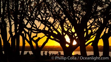 Sunset and Coral trees, San Diego Embarcadero Marina Park. San Diego, California, USA, natural history stock photograph, photo id 26564