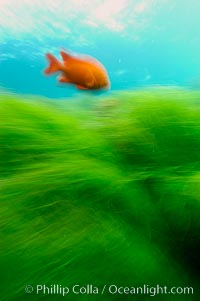 A garibaldi fish (orange) and surf grass (green) on the rocky reef -- appearing blurred in this time exposure -- are tossed back and forth by powerful ocean waves passing by above.  San Clemente Island, Phyllospadix, Hypsypops rubicundus
