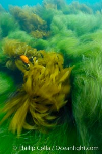 Surf grass (green) and palm kelp (brown) on the rocky reef -- appearing blurred in this time exposure -- are tossed back and forth by powerful ocean waves passing by above.  San Clemente Island, Phyllospadix