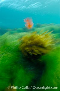 A garibaldi fish (orange), surf grass (green) and palm kelp (brown) on the rocky reef -- all appearing blurred in this time exposure -- are tossed back and forth by powerful ocean waves passing by above.  San Clemente Island, Hypsypops rubicundus, Phyllospadix