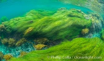 Surfgrass (Phyllospadix), shallow water, San Clemente Island, Phyllospadix