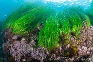 Surfgrass (Phyllospadix), moving with waves in shallow water, San Clemente Island, Phyllospadix