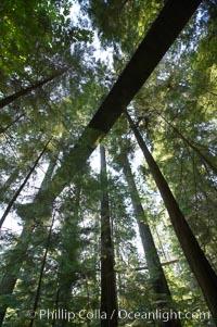 Suspension bridge in forest of Douglas fir and Western hemlock trees, Capilano Suspension Bridge, Vancouver, British Columbia, Canada
