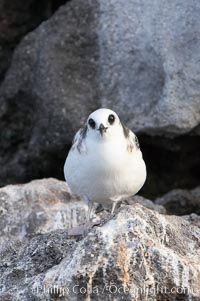 Swallow-tailed gull chick. Wolf Island, Galapagos Islands, Ecuador, Creagrus furcata, natural history stock photograph, photo id 16592