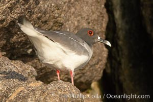 Swallow-tailed gull. Wolf Island, Galapagos Islands, Ecuador, Creagrus furcata, natural history stock photograph, photo id 16595