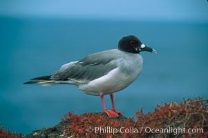Swallow-tailed gull. South Plaza Island, Galapagos Islands, Ecuador, Creagrus furcata, natural history stock photograph, photo id 01752
