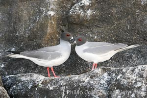 Swallow-tailed gull. Wolf Island, Galapagos Islands, Ecuador, Creagrus furcata, natural history stock photograph, photo id 16596