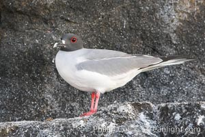 Swallow-tailed gull. Wolf Island, Galapagos Islands, Ecuador, Creagrus furcata, natural history stock photograph, photo id 16599