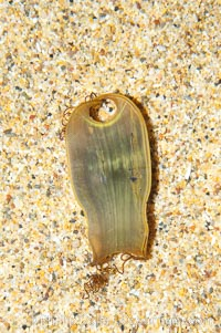 Egg casing (empty) of the swell shark, Cephaloscyllium ventriosum