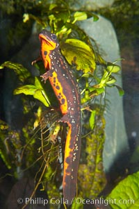 Swordtail newt, Cynops ensicauda
