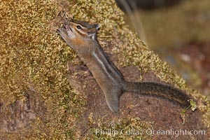 Chipmunk. Oregon Caves National Monument, Oregon, USA, Tamias, natural history stock photograph, photo id 25873