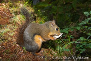Douglas squirrel, a common rodent in coniferous forests in western North American, eats a mushroom, Hoh rainforest. Hoh Rainforest, Olympic National Park, Washington, USA, Tamiasciurus douglasii, natural history stock photograph, photo id 13778