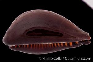 Tanned Cowrie., Cypraea succincta adusta, natural history stock photograph, photo id 08258