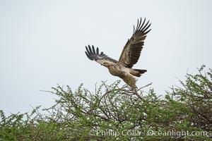 Tawny eagle, Amboseli National Park, Kenya, Aquila rapax