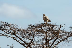 Tawny eagle in molt, Meru National Park, Kenya, Aquila rapax