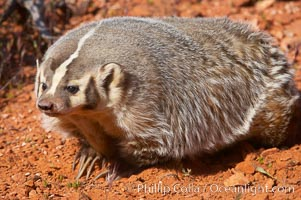 American badger.  Badgers are found primarily in the great plains region of North America. Badgers prefer to live in dry, open grasslands, fields, and pastures., Taxidea taxus, natural history stock photograph, photo id 12044