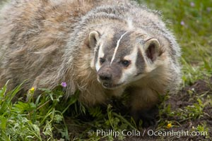 American badger.  Badgers are found primarily in the great plains region of North America. Badgers prefer to live in dry, open grasslands, fields, and pastures., Taxidea taxus, natural history stock photograph, photo id 15950