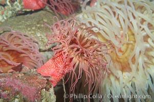 Beaded anemone., Urticina lofotensis, natural history stock photograph, photo id 11767