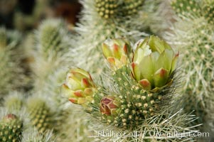 A bloom sprouts from the branch of a Teddy-Bear cholla, Opuntia bigelovii, Joshua Tree National Park, California