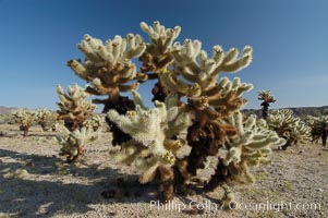 A small forest of Teddy-Bear chollas is found in Joshua Tree National Park. Although this plant carries a lighthearted name, its armorment is most serious. Joshua Tree National Park, California, USA, Opuntia bigelovii, natural history stock photograph, photo id 09125