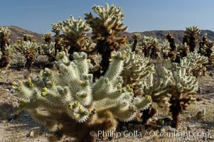 Image 09131, A small forest of Teddy-Bear chollas is found in Joshua Tree National Park. Although this plant carries a lighthearted name, its armorment is most serious. Joshua Tree National Park, California, USA, Opuntia bigelovii