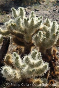 The Teddy-Bear chollas dense array of spines is clearly apparent, Opuntia bigelovii, Joshua Tree National Park, California